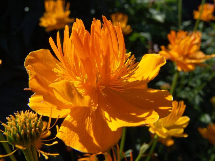 kwiaty ogrodowe wieloletnie długo kwitnące