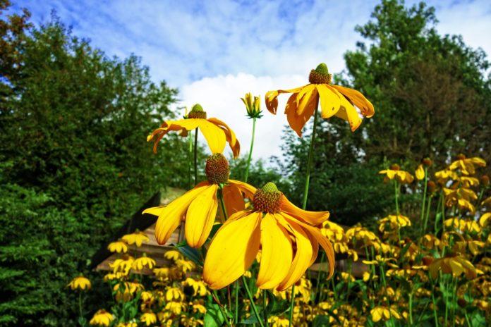 krzewy o żółtych kwiatach