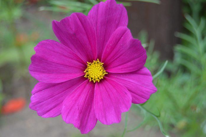 kwiaty rabatowe
