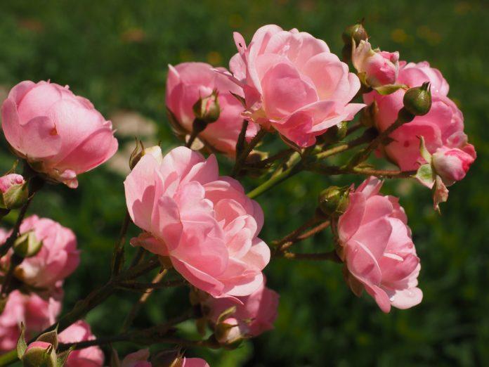 kwiaty rabatowe wieloletnie