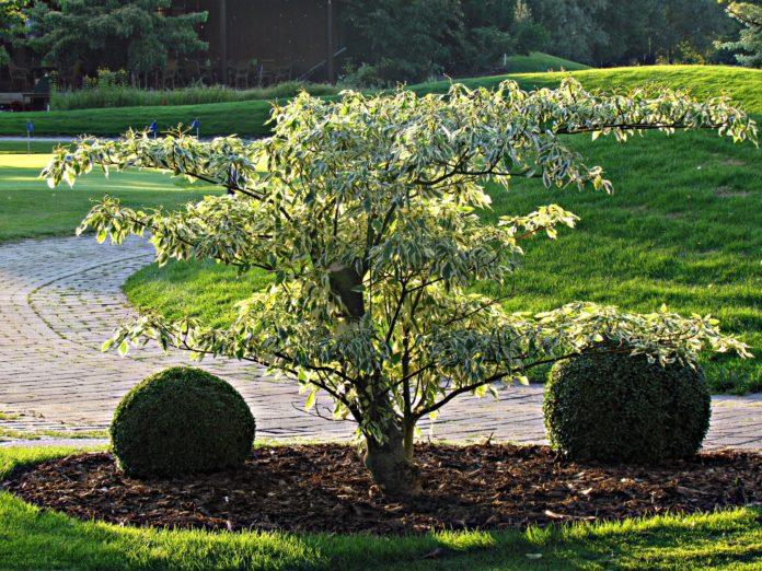 ozdobne drzewka